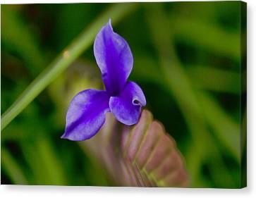 Purple Bromeliad Flower Canvas Print by Douglas Barnard