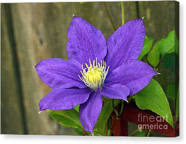 Canvas Print featuring the photograph Purple Clematis by Denise Pohl