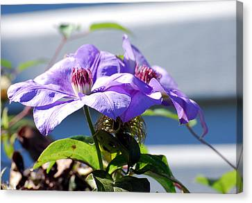 Canvas Print featuring the photograph Purple Clematis by Linda Cox