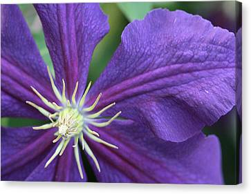 Canvas Print featuring the photograph Purple Clematis by Peg Toliver