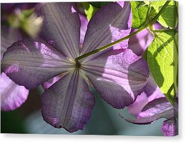 Canvas Print featuring the photograph Purple Clematis Rear by Peg Toliver