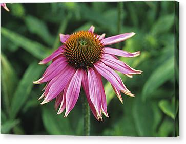 Purple Coneflower Canvas Print by Duncan Smith