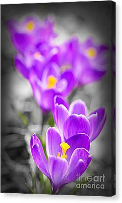 Purple Crocus Flowers Canvas Print by Elena Elisseeva