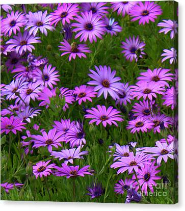 Purple Daisies Square Canvas Print by Carol Groenen