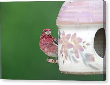Purple Finch At Feeder Canvas Print