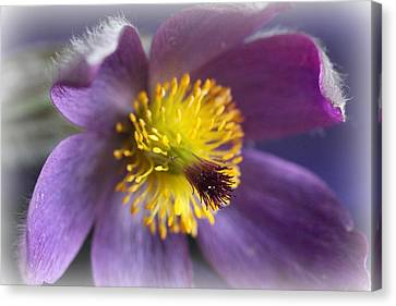 Purple Flower Frosted Canvas Print by Mark J Seefeldt