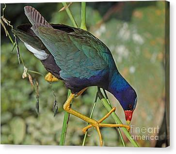 Canvas Print featuring the photograph Purple Gallinule by Larry Nieland