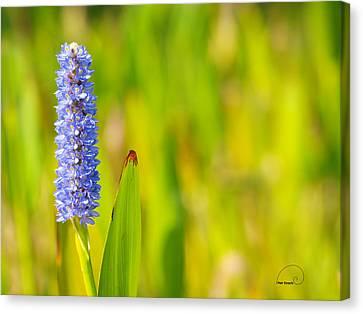 Purple Hyacinth Canvas Print by Meir Ezrachi