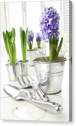 Purple Hyacinths On Table With Sun-filled Windows  Canvas Print by Sandra Cunningham