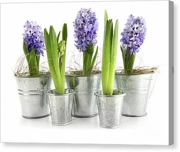 Purple Hyacinths Canvas Print by Sandra Cunningham