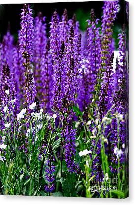 Purple Lavender Flower In Bloom  Canvas Print by Carol F Austin