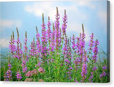 Purple Loosestrife II Canvas Print by Mary McAvoy