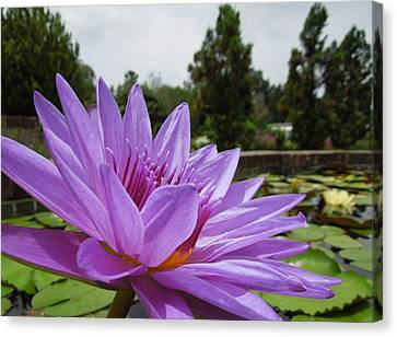 Purple Lotus Flower Canvas Print by Chad and Stacey Hall