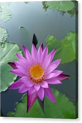 Purple Lotus In A Pond Canvas Print by Gregory Smith