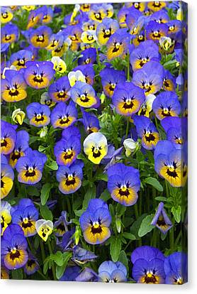 Canvas Print featuring the photograph Purple Pansies 1 by Robert Decker
