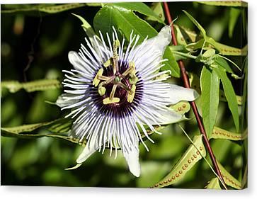 Purple Passionflower Canvas Print by April Wietrecki Green