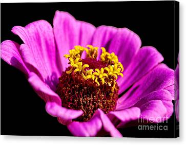 Purple Pink Cosmos Canvas Print by Alexandra Jordankova