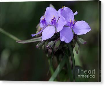 Purple Spiderwort Flowers Canvas Print by Sabrina L Ryan