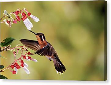 Purple-throated Mountain-gem Lampornis Canvas Print by Michael & Patricia Fogden