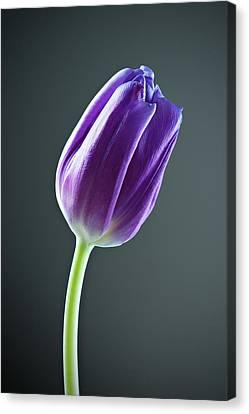 Purple Tulip Canvas Print by Nick  Shirghio