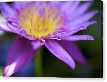 Purple Water Lily Petals Canvas Print by Kicka Witte