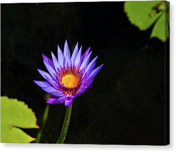 Purple Water Lily Canvas Print by Sandra Anderson