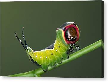 Puss Caterpillar Canvas Print - Puss Moth Cerura Vinula On Stem, Europe by Ingo Arndt