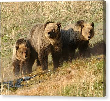Quad Mom At Mammoth Terraces I Canvas Print by Amy Gerber