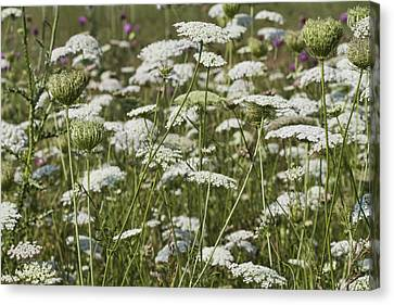 Queen Anne's Lace Fields Forever Canvas Print by Kathy Clark