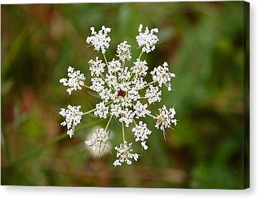 Queen Anne's Lace Canvas Print by Mary McAvoy