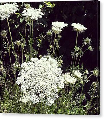 Queen Anne's Lace Canvas Print by Michelle Calkins