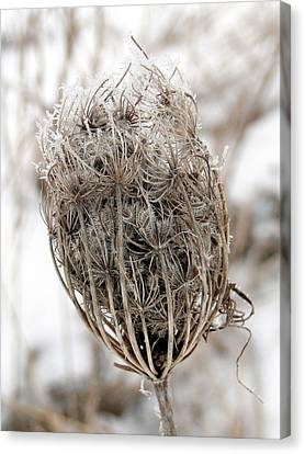 Canvas Print featuring the mixed media Queen Anne's Lace Seed Pods by Bruce Ritchie