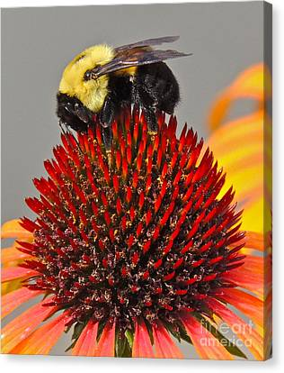 Queen Bee Canvas Print by Eve Spring