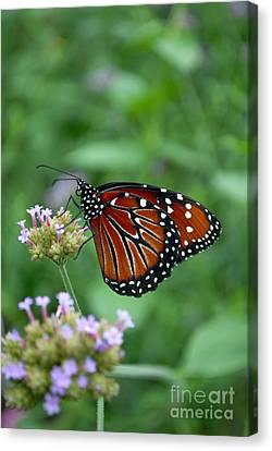 Canvas Print featuring the photograph Queen Butterfly by Eva Kaufman