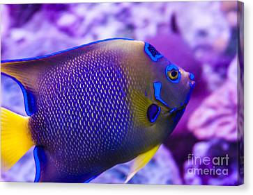 Quenn Angelfish Canvas Print by Scotts Scapes