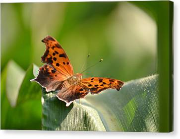 Canvas Print featuring the photograph Question Mark Butterfly by JD Grimes
