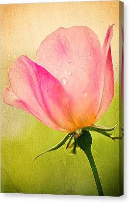 Quigley's Rose Canvas Print by Vicki Jauron
