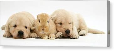 Rabbit And Puppies Canvas Print by Jane Burton