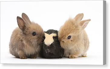 Rabbits With Guinea Pig Canvas Print