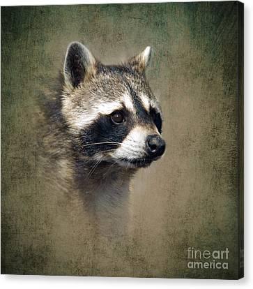 Raccoon 1 Canvas Print by Betty LaRue