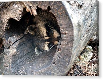Canvas Print featuring the photograph Raccoon In Hiding by Kathy  White