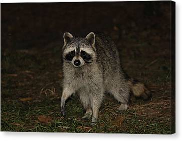 Raccoon Canvas Print by Lali Partsvania