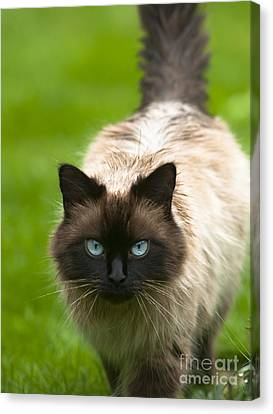 Canvas Print featuring the photograph Ragdoll Cat by Andrew  Michael