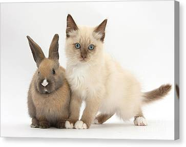 Ragdoll-cross Kitten And Young Rabbit Canvas Print