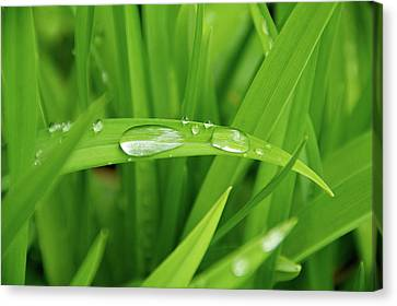 Canvas Print featuring the photograph Rain Drops On Grass by Trever Miller