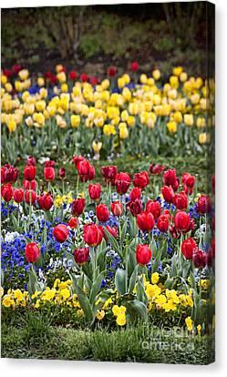 Canvas Print featuring the photograph Rain On The Tulips by Cheryl Davis