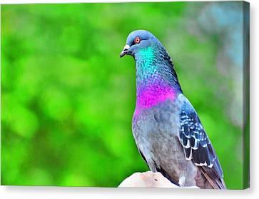 Rainbow Pigeon Canvas Print