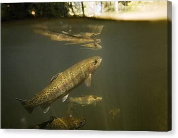 Brook Trout Image Canvas Print - Rainbow Trout In Creek  Aptos California by Sebastian Kennerknecht