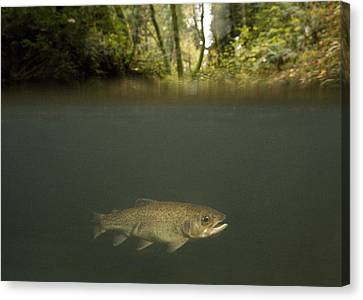 Brook Trout Image Canvas Print - Rainbow Trout In Creek In Mixed Coast by Sebastian Kennerknecht