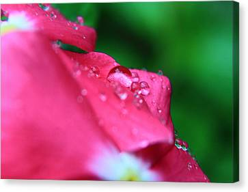 Raindrops On A Flower I Canvas Print